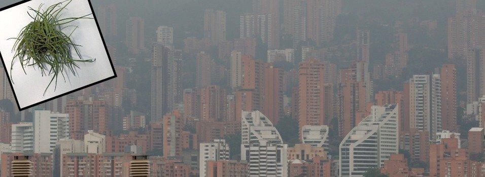 El musgo, clave para medir la contaminación de Medellín.
