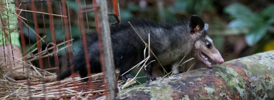 Atropellamientos amenazan la fauna silvestre