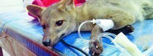 Un zorro perro murió atropellado en Envigado
