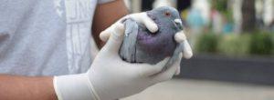 Cientos de palomas han sido desparasitadas en Envigado