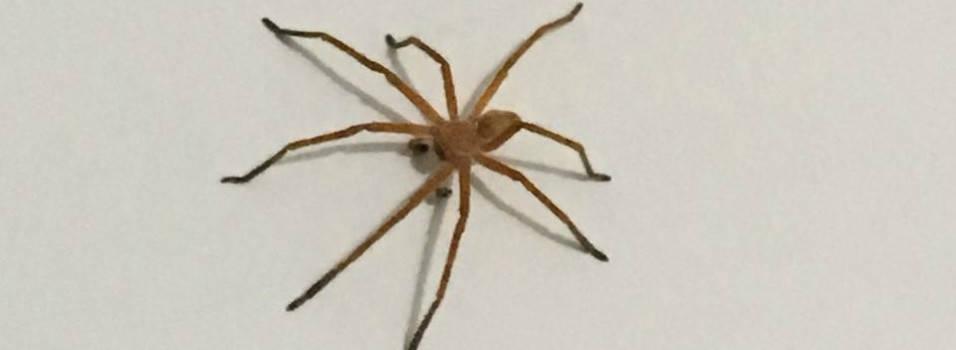 Arañas alarmaron a vecinos de la Loma de Los Bernal
