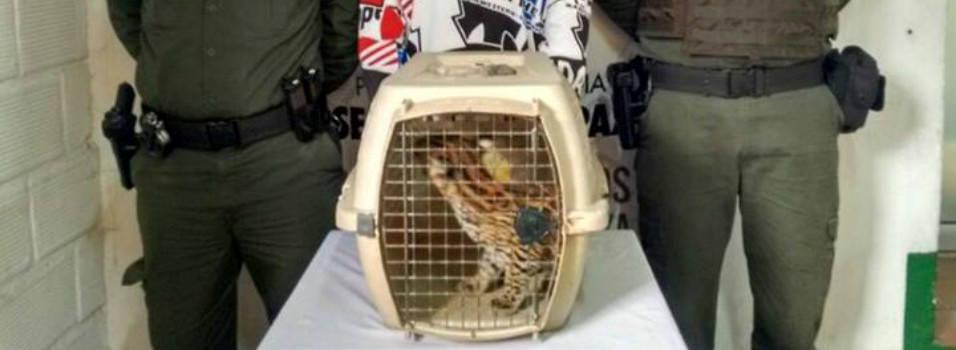 Tigrillo fue rescatado en un centro comercial de El Poblado