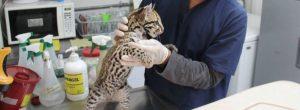 Tigrillo recuperado en El Poblado, en manos de de expertos