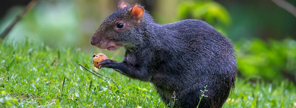 Ñeque, otro de los animales silvestres que habita en Envigado