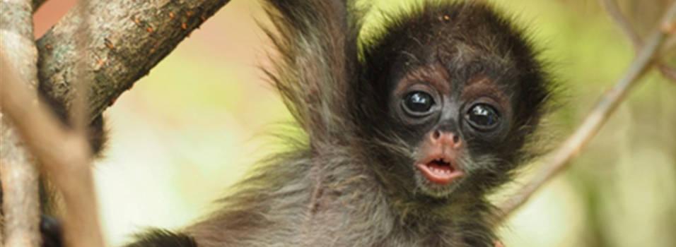 En el zoológico Santa Fe nació un mono en peligro de Extinción
