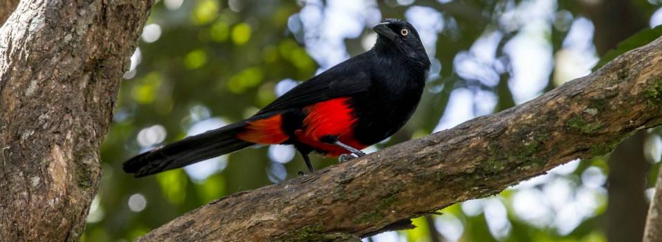 El último cacique de El Poblado y las otras 18 especies de aves amenazadas