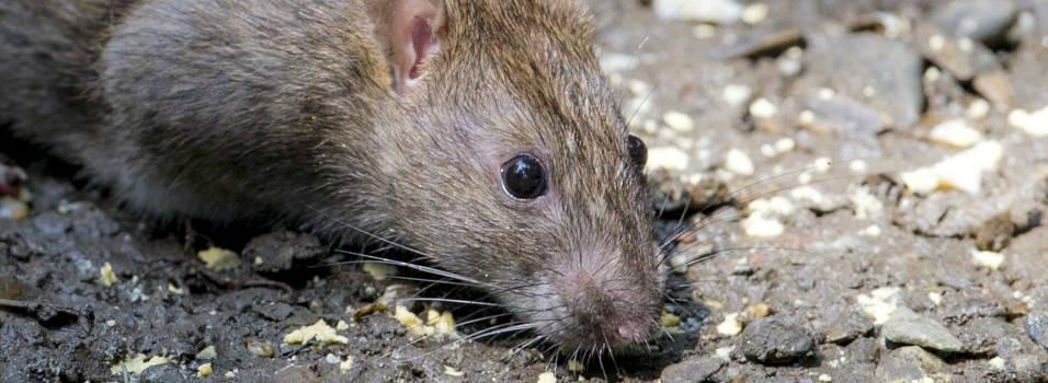 Nueva denuncia por ratas en Laureles