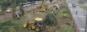Así va el trasplante de los árboles de la Distribuidora