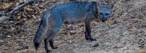 Zorro perro fue visto en el parqueadero de una unidad en El Poblado