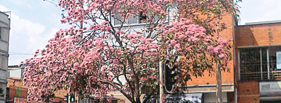 El árbol que florece por estos días en el parque de Belén
