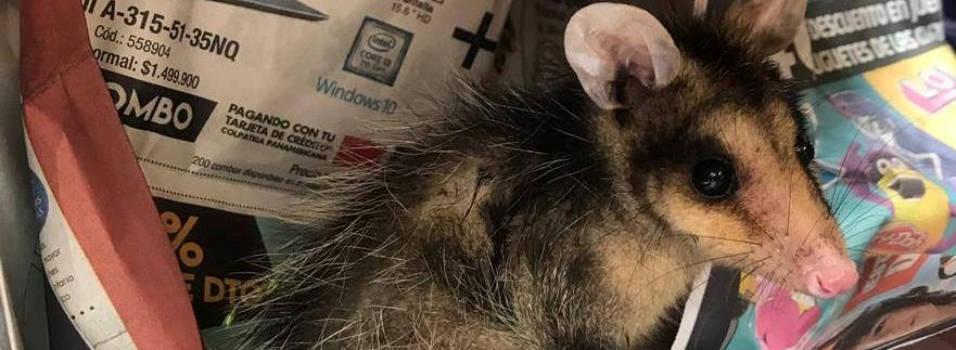 Fotos Estos animales silvestres fueron rescatados en Envigado