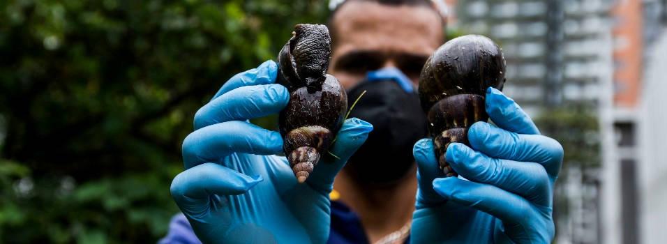 Brigada contra caracoles africanos en Los Bernal