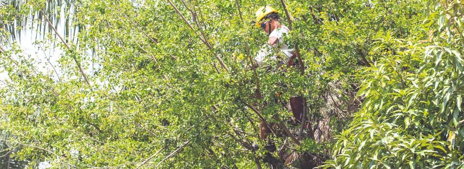 Cuidado, que no lo multen por podar un árbol