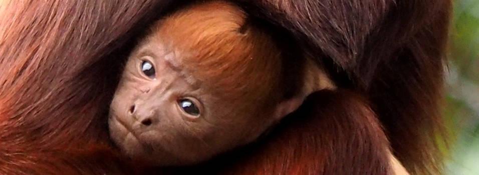 Un mono aullador rojo nació en el zoológico de Medellín