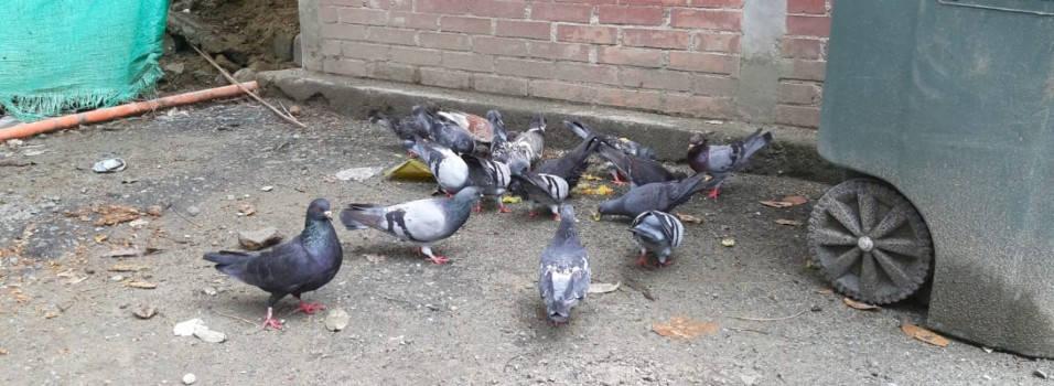 Captura de palomas causó polémica en Envigado